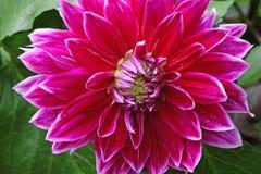 Closeup of a Dahlias flower. Dahlias  flowers in the garden Stock Photos