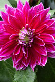 Closeup of a Dahlias flower. Dahlias  flowers in the garden Royalty Free Stock Photo