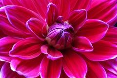 Closeup of a Dahlias flower. Dahlias  flowers in the garden Stock Image