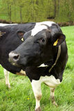 Closeup Dairy Cow Royalty Free Stock Photography