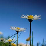 Closeup of a daisy. Daisy in diving against a blue sky Stock Photography