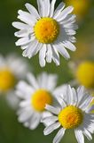 Closeup of daisies. Closeup of camomile flowers - shallow focus depth royalty free stock image