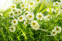 Closeup of daisies in field Royalty Free Stock Photos