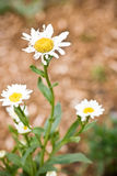 Closeup of daisies with petals eaten Stock Images