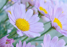 Closeup of daisies. A very airy and fresh floral scene Stock Image