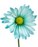 Closeup on daisy Stock Photography