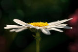 Closeup of a Daisy against dark green Royalty Free Stock Image