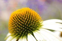 Closeup of A Daisy Bloom Stock Image