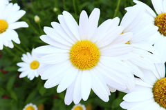 A Closeup Of A Daisy Stock Photo
