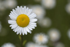 Closeup of daisy flower on blurred background Stock Photos