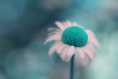 Closeup of daisy flower with surreal blue center color Stock Images