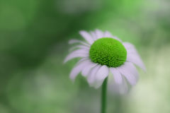 Closeup of daisy flower with surreal green center color Royalty Free Stock Photography