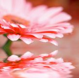 Closeup daisy - gerber with soft focus Royalty Free Stock Photography