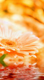 Closeup daisy - gerber with soft focus Royalty Free Stock Photos