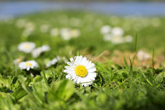 Closeup of Daisy on meadow. Closeup of white daisy on green meadow in the beautiful day Stock Photo