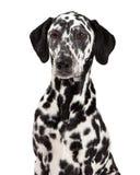 Closeup Of Dalmatian Dog Royalty Free Stock Photography
