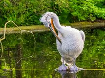 Closeup of a dalmatian pelican preening its feathers in the water, Near threatened animal specie. A Closeup of a dalmatian pelican preening its feathers in the royalty free stock image