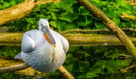 Closeup of a dalmatian pelican sitting on a tree branch, Near threatened aquatic bird specie from Europe. A closeup of a dalmatian pelican sitting on a tree royalty free stock images