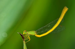 Closeup of a damsel fly flapping tail Stock Image