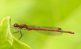Closeup of damselfly  Royalty Free Stock Image