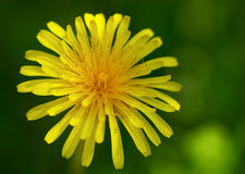 Closeup of dandelion. In meadow - shallow focus depth on flower stock image