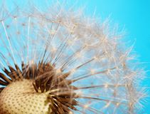 Closeup of dandelion Royalty Free Stock Photos