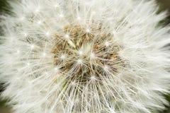 Closeup of dandelion Stock Photo