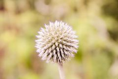 Closeup of a dandelion royalty free stock images