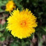 Closeup of a dandelion blossoming stock photos