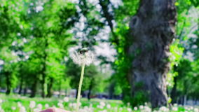 Closeup of dandelion blowing in the wind stock video