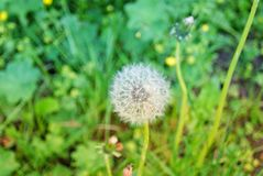 Closeup of dandelion flower in a field. royalty free stock photos