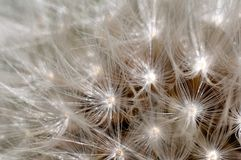 Closeup of a dandelion flower. Macro shot of a dandelion flower on a sunny day Royalty Free Stock Image