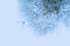 Closeup of dandelion flower with water drops Royalty Free Stock Images