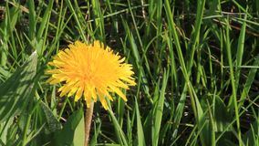 Closeup dandelion flower. Closeup yellow dandelion flower in the nature stock video footage
