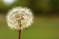 Closeup of a dandelion Stock Photos