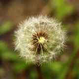 Closeup of a dandelion Stock Photography