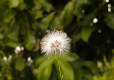 Closeup of a dandelion with greenery. An  closeup shot of a dandelion flower against some background greenery Royalty Free Stock Photo