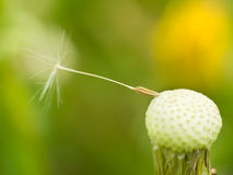 Closeup of dandelion Royalty Free Stock Images