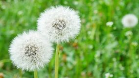 Closeup of dandelion on natural background. White fluffy dandelions, natural green spring background stock footage