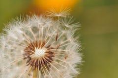 Closeup of dandelion on natural background under sunlight. Inspirational nature concept stock image