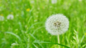 Closeup of dandelion on natural background. White fluffy dandelions, natural green spring background stock video footage
