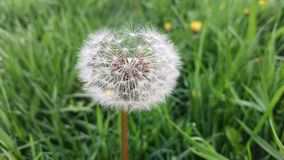 Detailed Dandelion Seed Head Macro. A closeup of a dandelion seed head in the tall grass Royalty Free Stock Photos