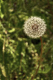 Closeup of dandelion seed puff ball. In meadow of dandelions stock image
