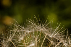 Closeup of dandelion seeds against a mottled green background. Rounded top of a dandelion seedhead against a spring green background Royalty Free Stock Images