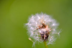 Closeup dandelion seeds on green background Royalty Free Stock Photos