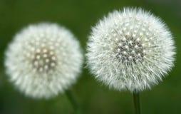 Dandelion seeds outdoor. Closeup of Dandelion seeds outdoor Royalty Free Stock Photography