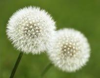Dandelion seeds outdoor. Closeup of Dandelion seeds outdoor Royalty Free Stock Image