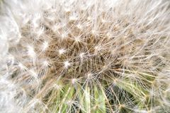 Closeup of Dandelion Seeds. Closeup of White Dandelion Full With Seeds Stock Photos