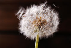 Closeup of dandelion with water drops Stock Photography