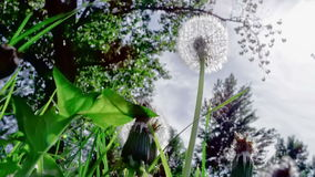 Closeup of dandelion in the wind stock video footage